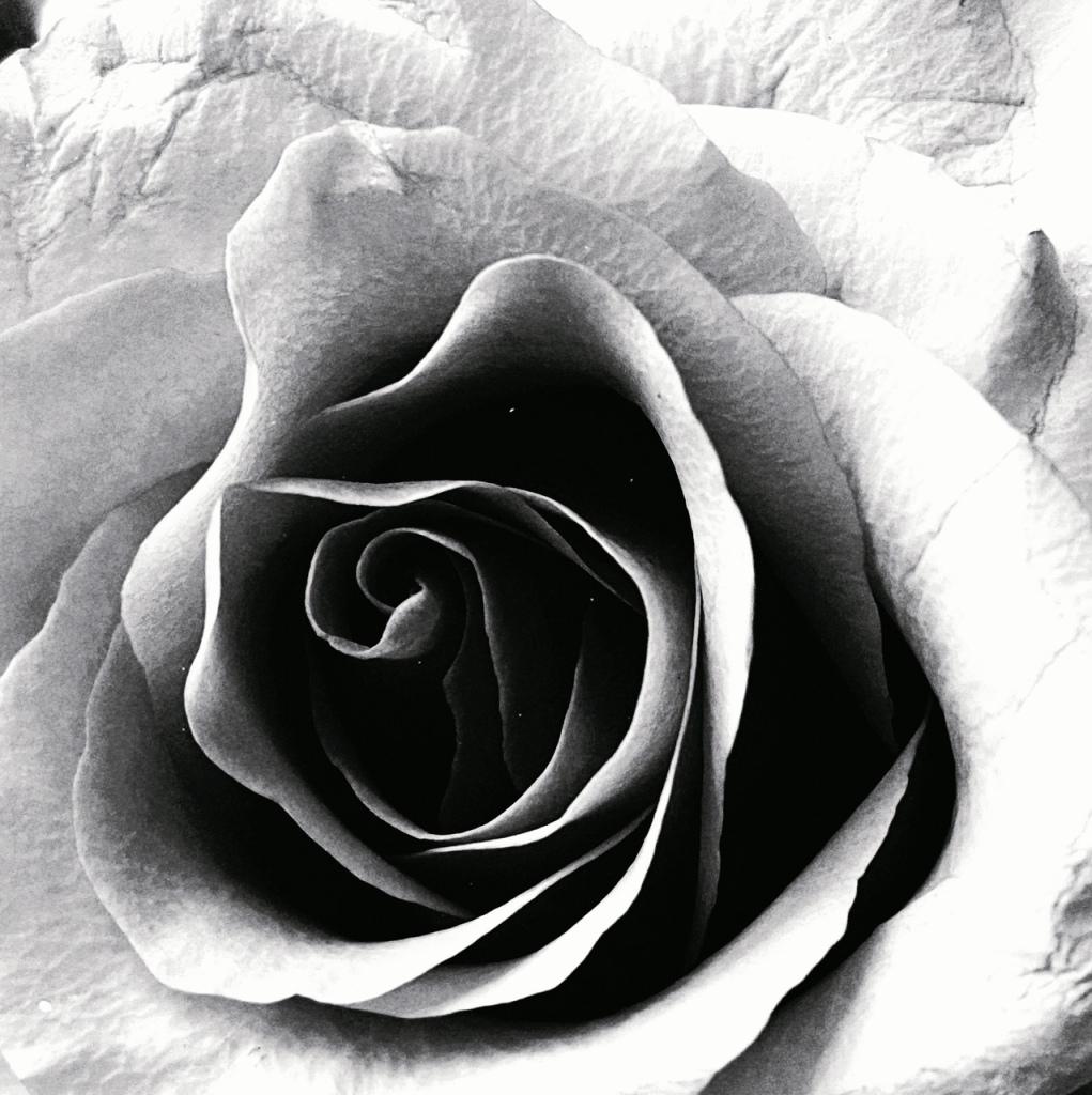 black and white rose / K elizabeth fleck