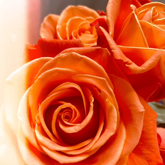 Orange roses - KEF ||| K. Elizabeth Fleck